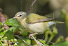 Tennessee Warbler,<br /> Quintana Neotropical Bird Sanctuary, Freeport, Texas