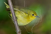 Yellow Warbler, Female,<br /> Lafitte's Cove, Galveston, TX