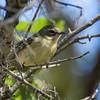 Black-throated Blue Warbler (female)