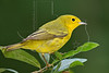 Yellow Warbler, Male,<br /> Lafitte's Cove, Galveston, TX