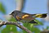 American Redstart Warbler, Male,<br /> Quintana Neotropical Bird Sanctuary, Freeport, Texas
