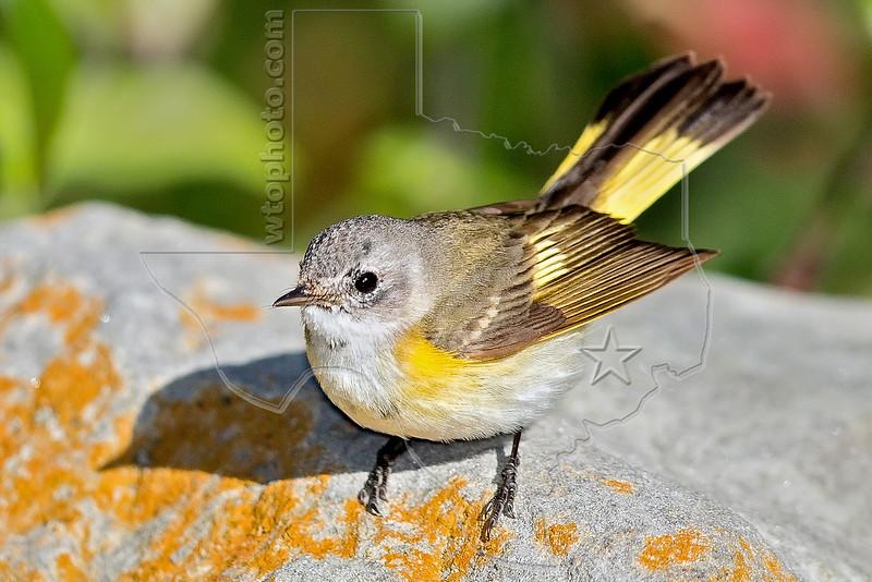 American Restart, Female,<br /> Quintana Neotropical Bird Sanctuary, Quintana, Texas
