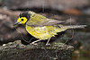 Hooded Warbler, Male, Wet,<br /> Lafitte's Cove, Galveston, TX