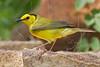 Hooded Warbler, Female<br /> Quintana Neotropical Bird Sanctuary, Quintana, Texas
