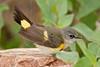 American Redstart, Immature Male,<br /> Quintana Neotropical Bird Sanctuary, Quintana, Texas
