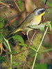 Common Yellowthroat Warbler, Male,<br /> Brazos Bend State Park, Texas
