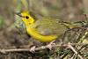 Hooded Warbler, Female,<br /> Quintana Neotropical Bird Sanctuary, Quintana, Texas