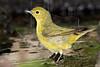 Yellow Warbler, Male, Bathing,<br /> Lafitte's Cove, Galveston, TX