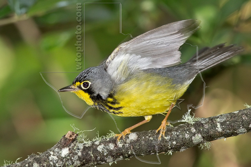 Canada Warbler, Male,<br /> Lafitte's Cove, Galveston, TX