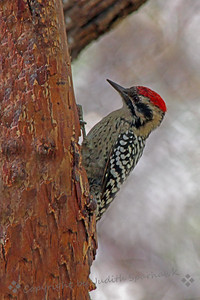 Ladderback Woodpecker ~ Photograph taken at Ash Canyon, Huachuca Mountains, Southeast Arizona.