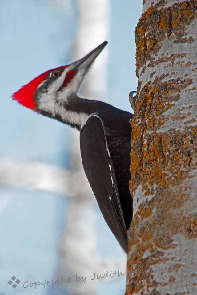 Pileated Woodpecker ~ This 18 inch tall woodpecker was photographed in the forested area above the Sascatchewan River in Edmonton, Alberta, Canada.  He has great golden eyes, the red crest, and large white patches on his wings, which show in flight.