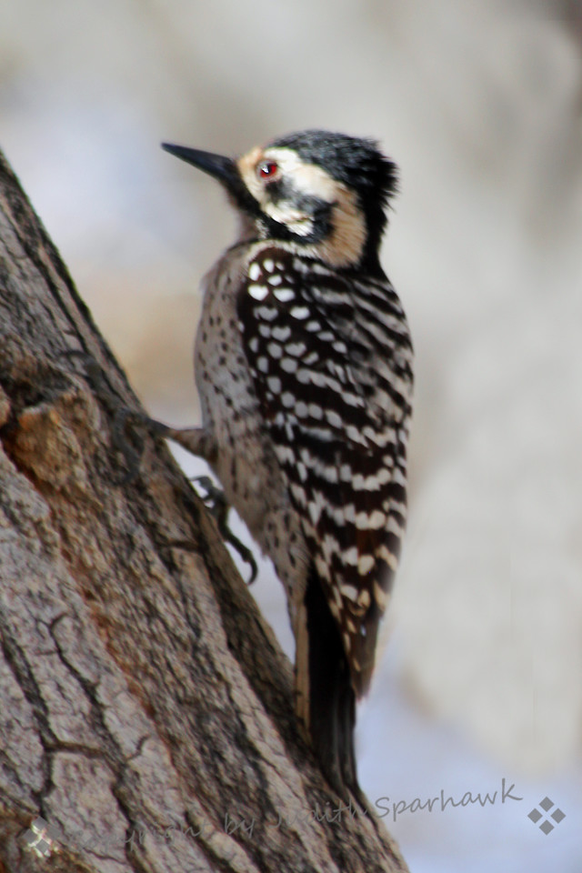 Ladderback Woodpecker ~ This female Ladderback Woodpecker was photographed at Big Morongo Canyon Preserve in Southern California.