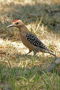 Gila Woodpecker ~ This is the most common (and noisiest) woodpecker in southeastern Arizona.  This one was photographed in Patagonia, in the Patton's yard.