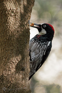 Acorn Woodpecker ~ This Acorn Woodpecker was photographed in Ash Canyon, in the Huachuca Mountains in Southeast Arizona.  He was nibbling on peanut butter at a feeder.