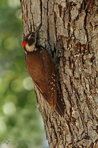 Arizona Woodpecker ~ This woodpecker was photographed in Madera Canyon, in Arizona, in June, 2011