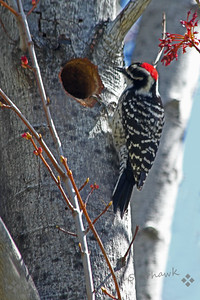 Male Nuttall's Woodpecker at the Nest Hole ~ At a local park today I found a male Nuttall's Woodpecker working on digging out a nest hole in a tree.  I will check again later, hoping he finds a mate and raises a family.