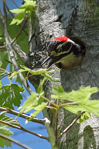 Male Nuttall's Woodpecker ~ This male Nuttall's had been in the nest, presumably feeding his young.  He kept peeking out, waiting for the female to return to the nest, seemingly defending and protecting the nest.  The female made all the noise and commotion when an Acorn Woodpecker came boldy nosing around the nest site.