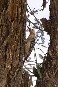 Gila Woodpecker - Judith Sparhawk
