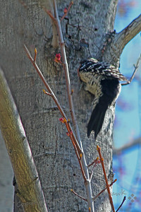 "Nuttall's Woodpecker Digging Out Nest Hole ~ It's hard work making a nest hole in a tree.  As I watched this woodpecker working on his future home, he had to go deeper and deeper to pull out the wood chips or ""sawdust""."