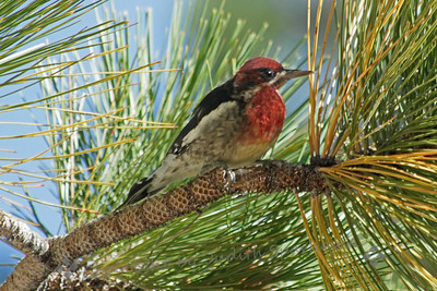 Red-breasted Sapsucker ~ This sapsucker was the most common woodpecker-type bird that I saw this August on the east side of the Sierras.  I had never been able to photograph them before, so this was a real treat.