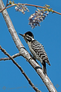 Nuttall's Woodpecker ~ This female woodpecker was photographed by Covington Park in Morongo Valley, California.  The male would have a bright red patch on the head. The Ladderback Woodpecker is more common in this desert environment.  This may be a hybrid between the two species.