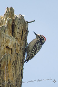 Ladderback Woodpecker ~ This bird was photographed at the Big Morongo Canyon Preserve in the desert near Joshua Tree National Park.