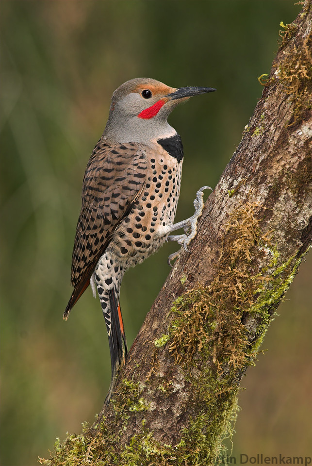 Northern Flicker Red Shafted Colaptes auratus