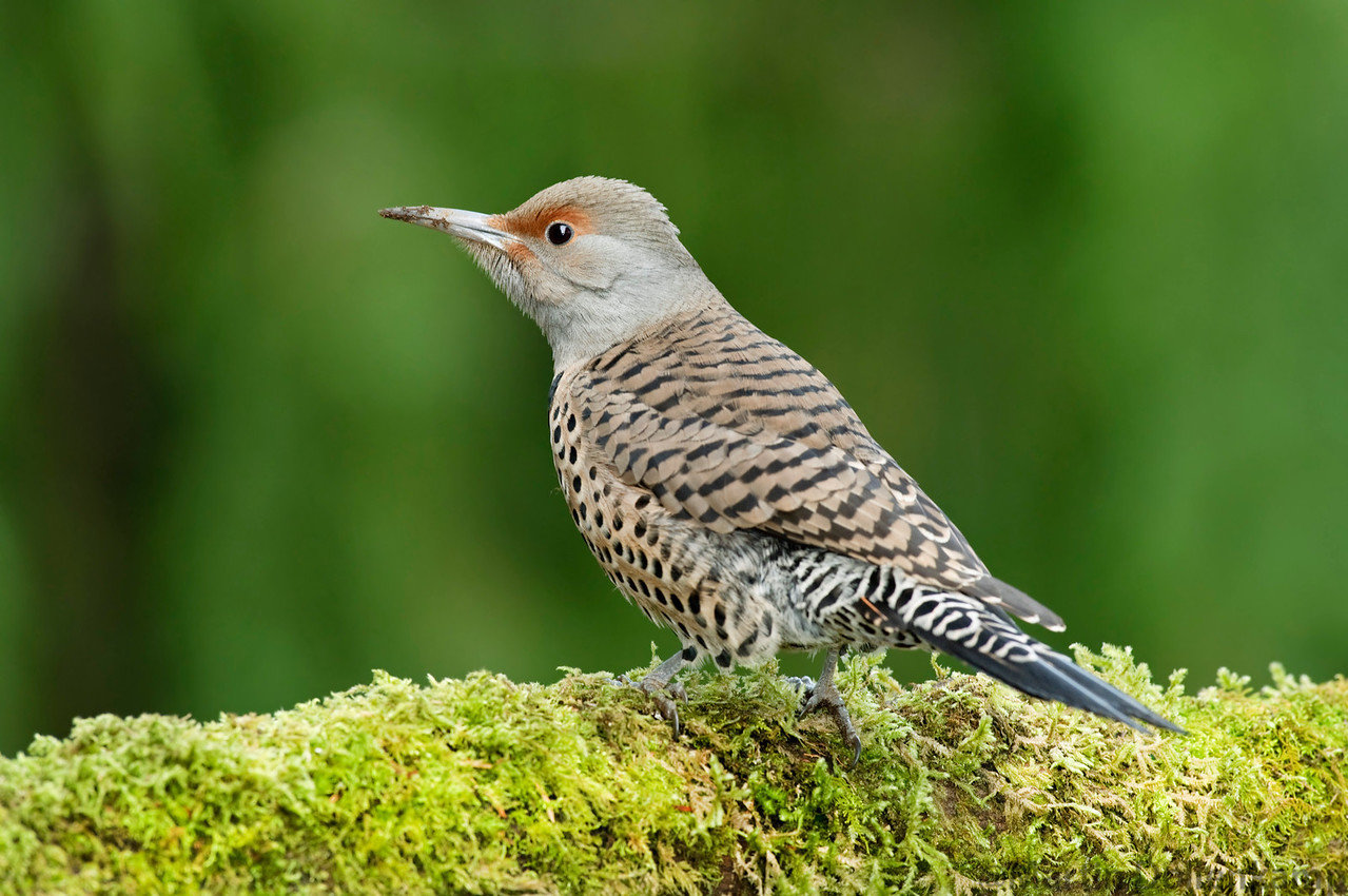 Northern Flickers are common and we get up to 7 at once in the backyard, they all don't get along though.