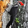 Pileated Woodpecker<br /> Lake Helen, Florida<br /> 055-0251c