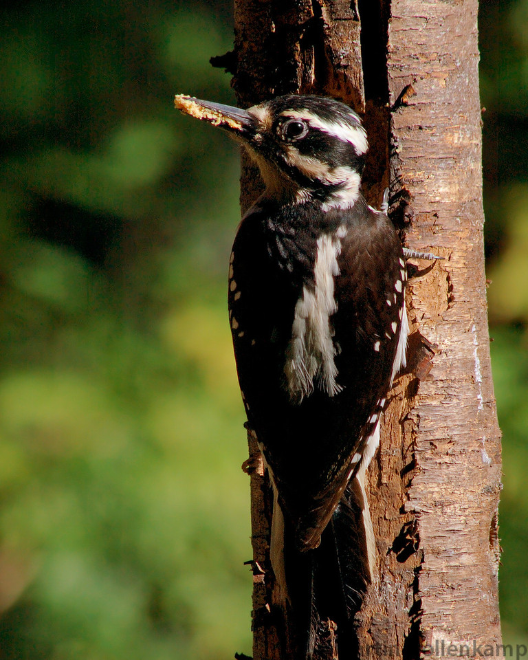 Hairy Woodpecker female loading up for the nest babies.
