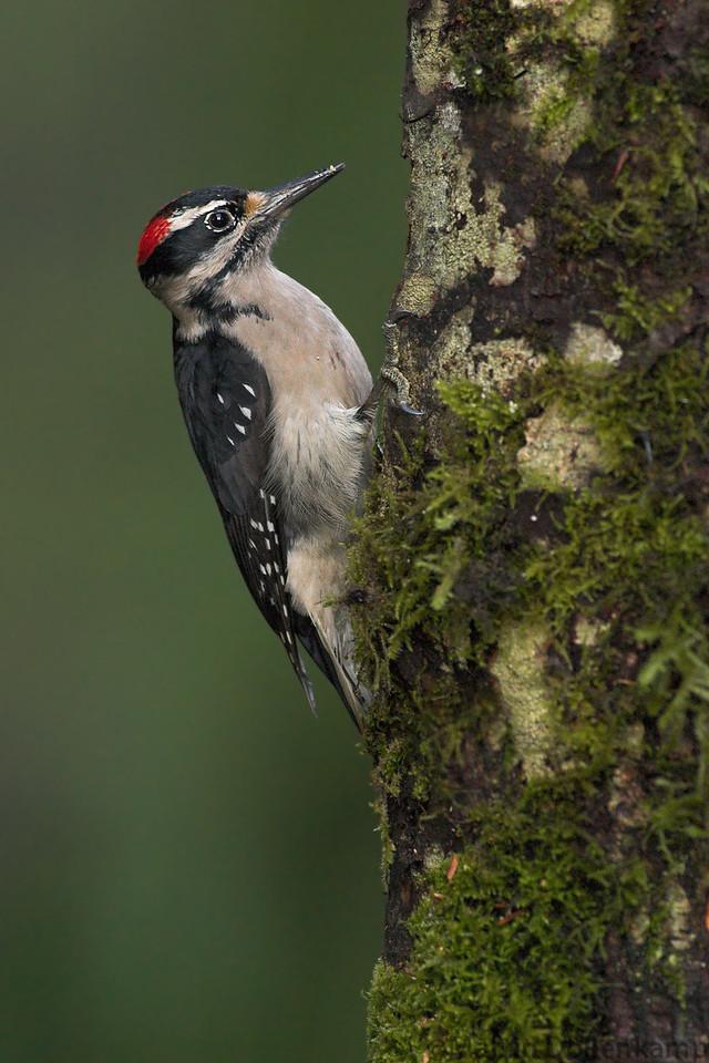 Hairy Woodpecker Picoides villosus