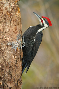 Pileated Woodpecker is one of my favorite birds to photograph.