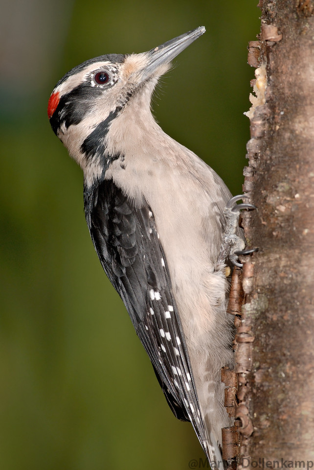 Hairy Woodpeckers are common right across North America.