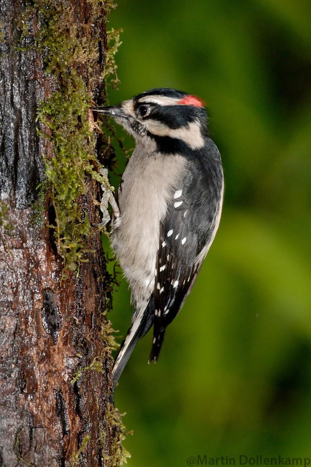 Downy Woodpecker eating.