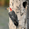 Red-bellied Woodpecker<br /> Viera Wetlands, Florida<br /> 053-5976a