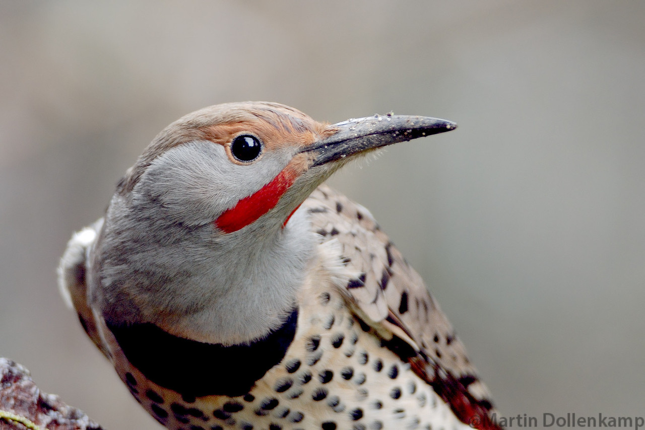 Northern Red Shafted Flicker closeup.
