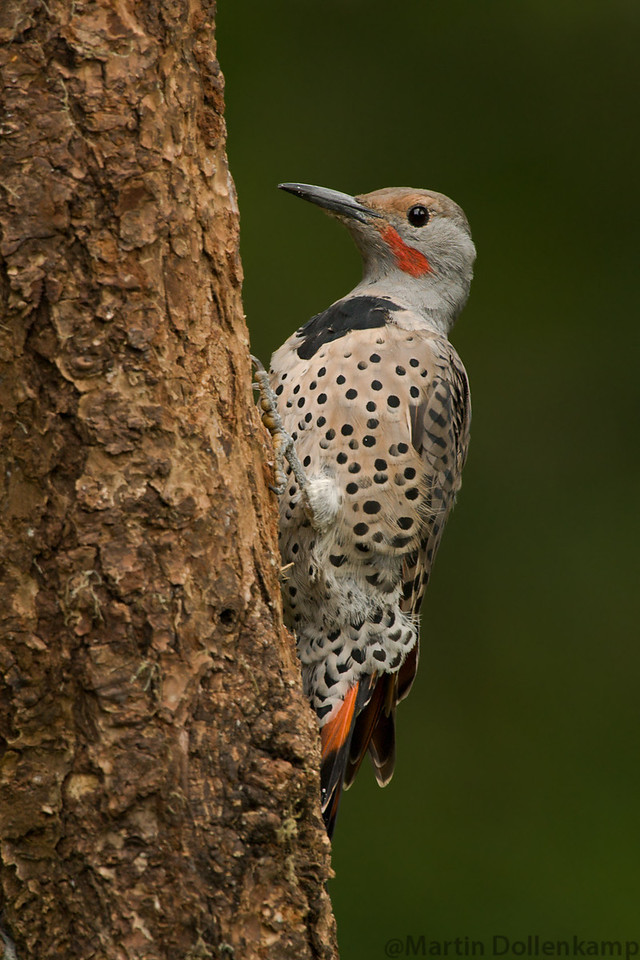 Carpenter Ants are the main food for Flickers