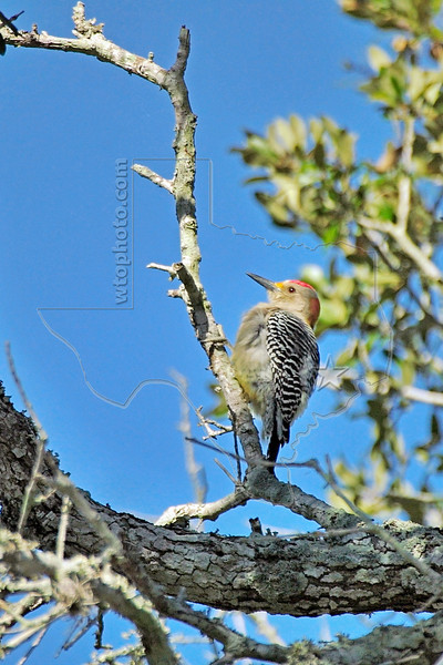 Golden-fronted Woodpecker, Nordheim, Texas