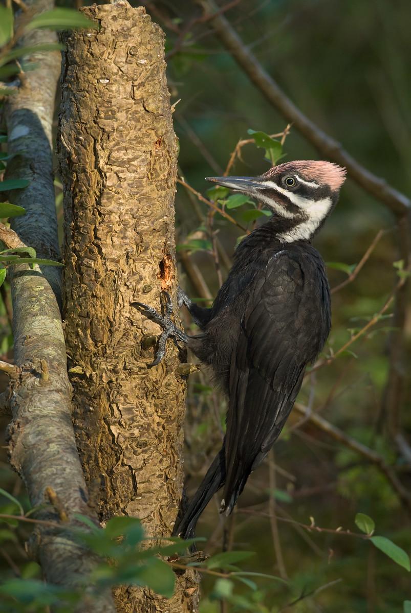Vancouver Island woodpecker