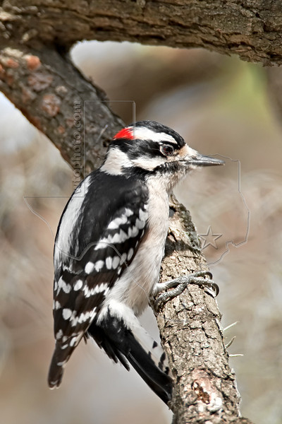 Downy Woodpecker, Male,<br /> Hermann Park, Houston, Texas