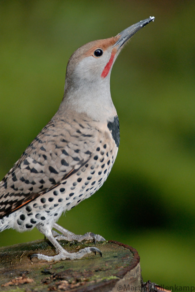 Northern Red Shafted Flicker male