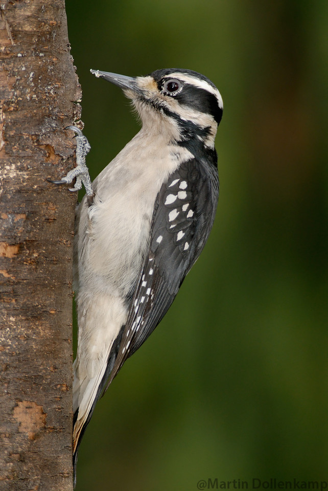 Hairy woodpeckers are common at suet feeders.