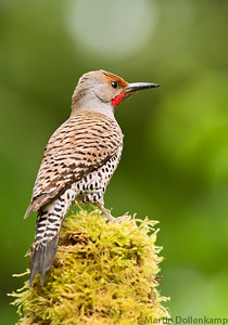 Northern Red Shafted Flicker perched on top of mossy log, backyard in Black Creek