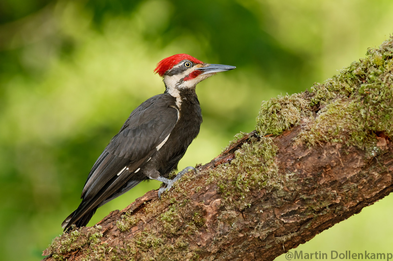 Pileated Woodpecker, they will find the loudest item in your yard to drum on, in our yard it is a bird house.