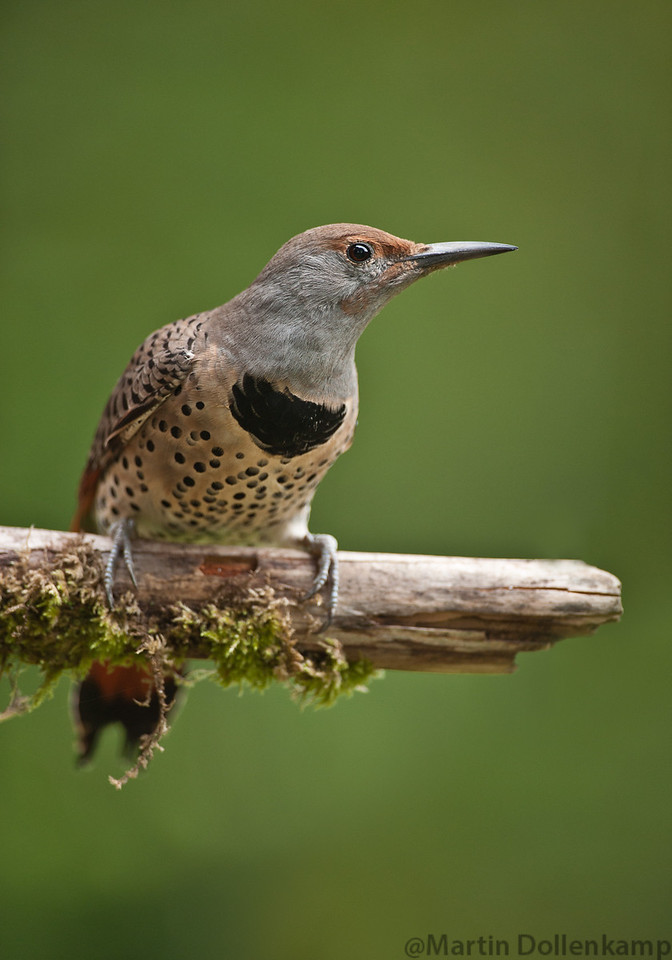 Female flickers don't have the red.