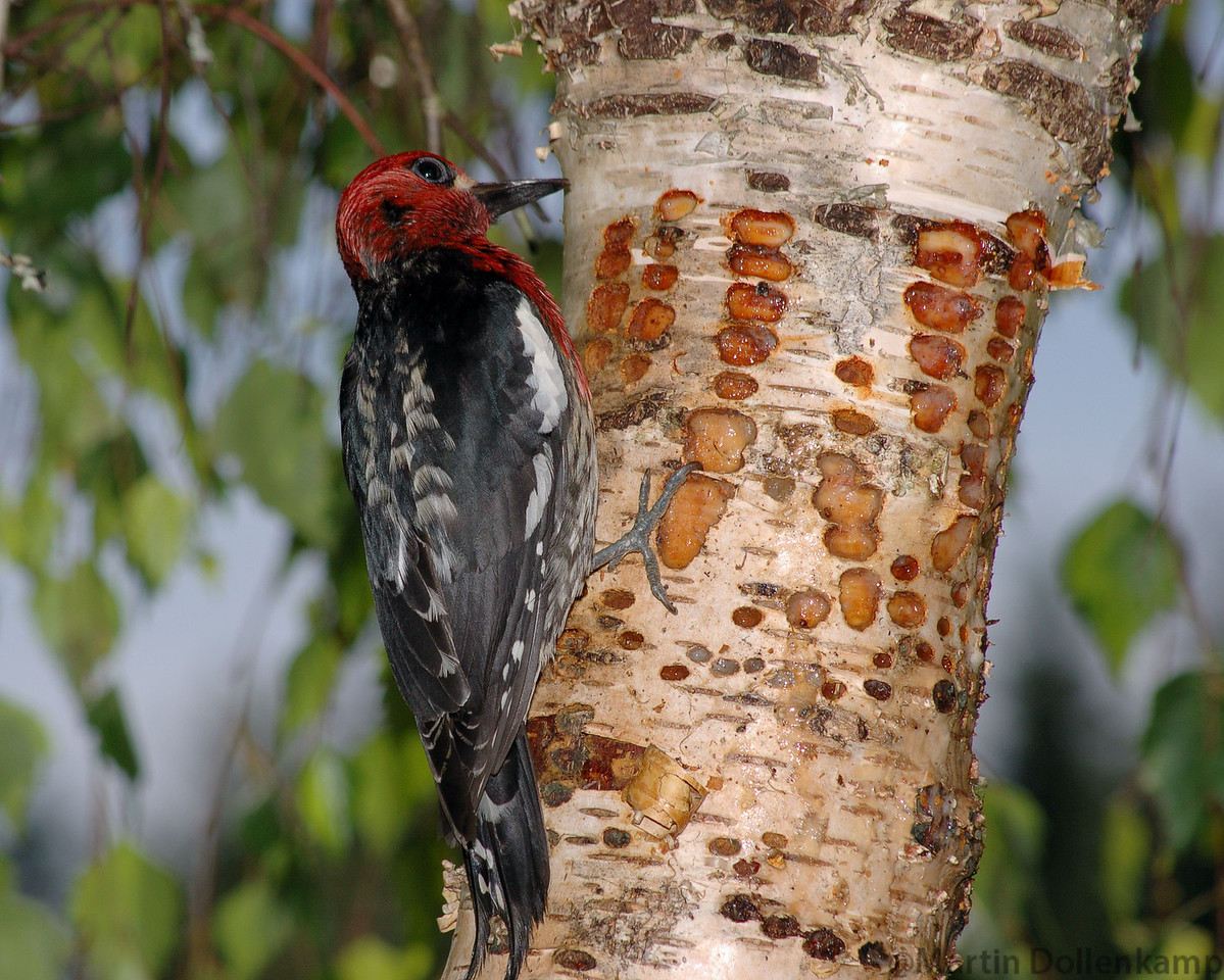 Red-breasted Sapsucker maintaining sap wells.