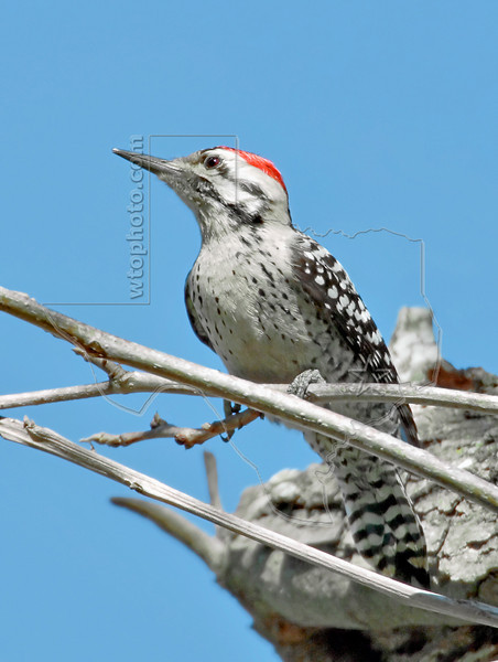 Ladder-backed Woodpecker,<br /> Nordheim, Texas