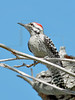 Ladder-backed Woodpecker,<br /> Nordheim, Texas