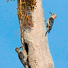 Red-bellied Woodpeckers<br /> Merritt Island, Florida<br /> 130-8306d
