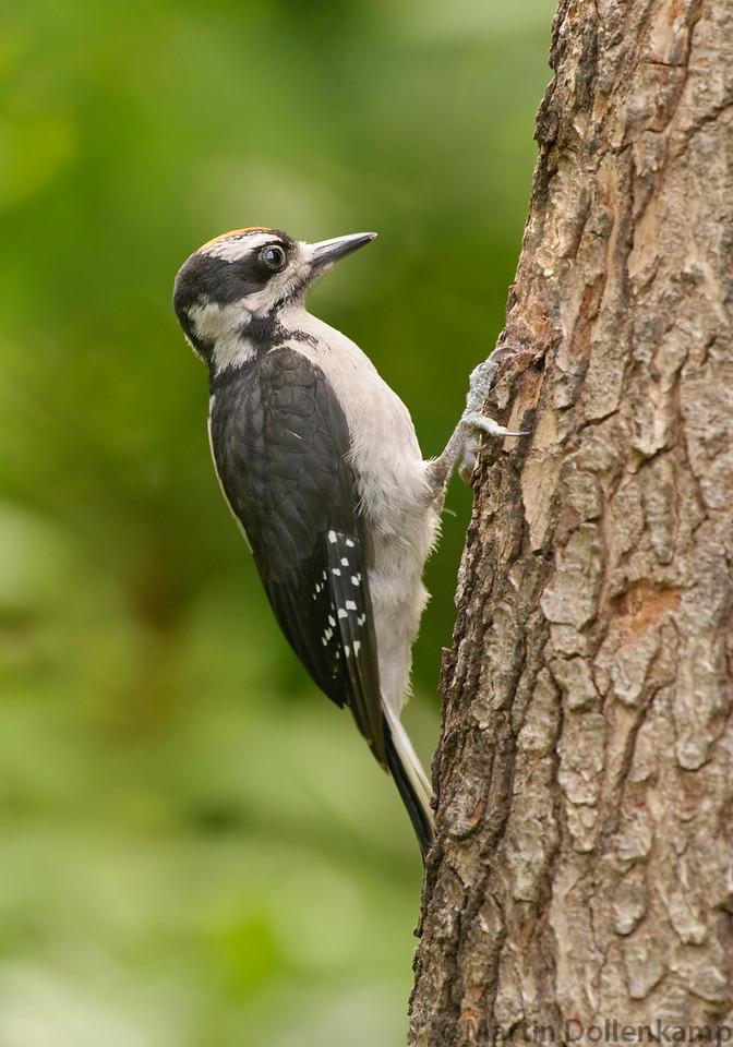 Juvenile Hairy Woodpecker in the backyard.